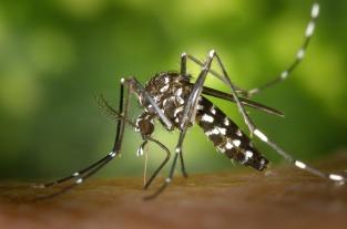 tiger-mosquito-49141_1920